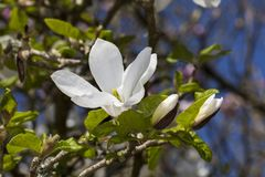 Magnolia Kobus `Norman Gould`. A winter white flower shrub or small tree known as magnolia stellata or star magnolia royalty free stock photography