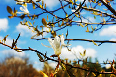 Magnolia kobus White flowers. Magnolia kobus. White beautiful flowers Stock Images