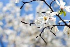 magnolia kobushi Στοκ Εικόνες