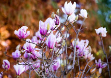 The Magnolia in kunming,China stock photography