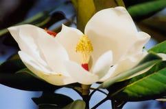magnolia kwiat Obrazy Royalty Free