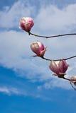 magnolia kwiat Zdjęcie Royalty Free