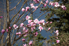 Magnolia kwitnie na burzowym ciemnym nieba tle Obraz Royalty Free