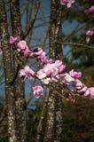 Magnolia kwitnie na burzowym ciemnym nieba tle Obrazy Royalty Free