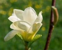 Magnolia kwitnie na gałąź Zdjęcia Royalty Free