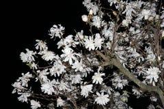 Magnolia Kwitnie przy nocą fotografia stock