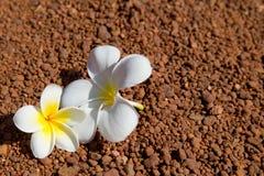 Magnolia kwitnie tło Zdjęcia Royalty Free