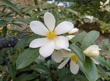 Magnolia laevifolia or dianica or Michelia yunnanensis. royalty free stock photography