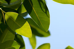Magnolia leaves Royalty Free Stock Images