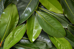 Magnolia Leaves Background Stock Image