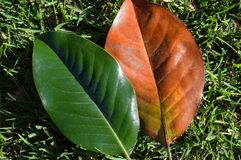 Magnolia leaves. Image shows a pair of leaves from Southern Magnolia grandifolia trees. The left leaf still has its chlorophyll while the right leaf has lost Royalty Free Stock Photo