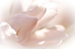 Magnolia ligera Imágenes de archivo libres de regalías