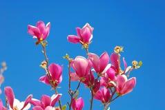 Magnolia liliiflora Royalty Free Stock Photography