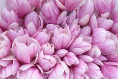Magnolia. A lot of  pink magnolia flower for  background  uses Royalty Free Stock Photography