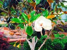 Magnolia luminosa e variopinta Fotografie Stock