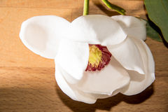 Magnolia. Lying on a wood table Royalty Free Stock Image