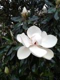 Magnolia magnifica, Victoria, il Texas immagine stock