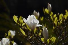 Magnolia Stock Photography