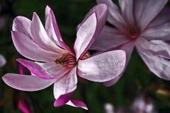 Magnolia 8 Stock Photography