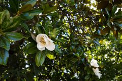 Magnolia Manchu royalty free stock photos