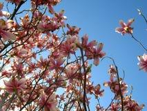 Magnolia merveilleuse Photo libre de droits