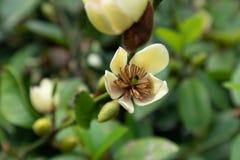 magnolia-Michelia figo ï ¼ ˆLour ï ¼ ‰ Spreng stock foto