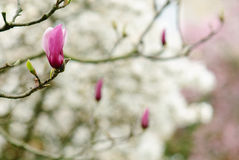Magnolia minimalist. Detail of the flowers of a magnolia tree Royalty Free Stock Photography