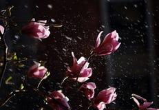 Magnolia molhando foto de stock
