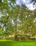 Magnolia monstruosa magnífica que hace memorias Imagen de archivo
