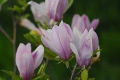 Magnolia na flor Fotografia de Stock