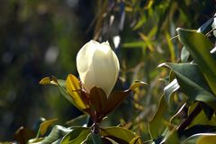 Magnolia - it is named after French botanist Pierre Magnol. Magnolia is an ancient genus. Appearing before bees did, the flowers are theorized to have evolved stock image