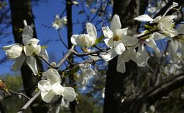 Magnolia obovata flowers in Gryshko National botanical garden in Kyiv, Ukraine.  Royalty Free Stock Image
