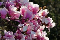 Magnolia officinalis Stock Photography
