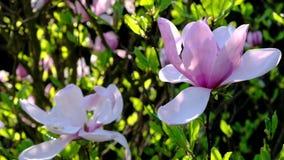 Magnolia ogród w wiosna sezonu folującym okwitnięciu zbiory