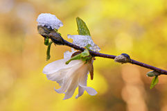 Magnolia onder ijs Stock Afbeeldingen