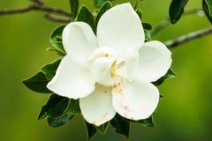 Magnolia in Onweer royalty-vrije stock afbeeldingen