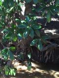 Magnolia op de Kreek Stock Afbeelding