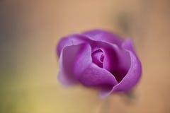 Magnolia púrpura Imagenes de archivo