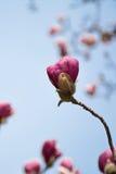 Magnolia púrpura contra el cielo azul Fotos de archivo libres de regalías