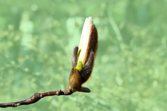 Magnolia pączek Obrazy Royalty Free