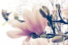 Magnolia parijs De lente frankrijk Reis Stock Foto