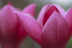 Magnolia  Petal Background Royalty Free Stock Images