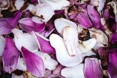 Magnolia Petals Royalty Free Stock Image