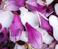Magnolia Petals Royalty Free Stock Images
