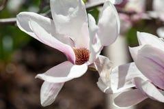 Magnolia - piękni kwiaty Obrazy Royalty Free
