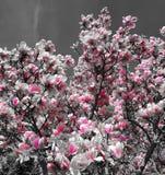 Magnolia. Picture of magnolias flowers Stock Photo