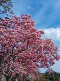 Magnolia pink blossom tree flowers, close up branch. royalty free stock photography