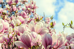 Magnolia pink blossom tree flowers, close up branch, outdoor.  stock photo