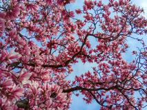 Magnolia pink blossom tree flowers, close up branch. stock photos