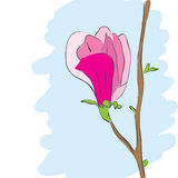 Magnolia pink flower blossom Royalty Free Stock Image